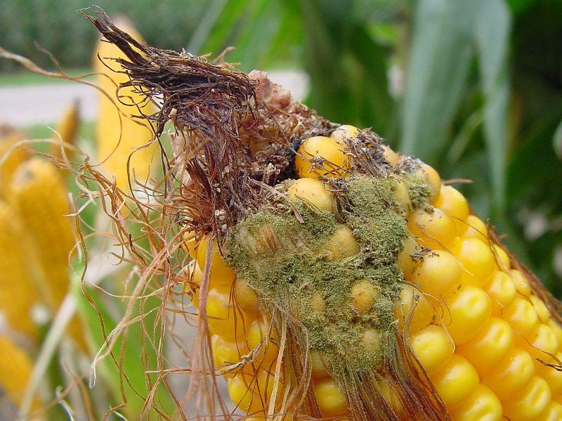 Micotossine: Linee guida per il controllo nella granella di mais e di frumento